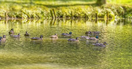 riparian sunny park scenery including some mallards swimming in a lake at summer time Stock Photo