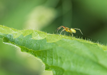 Sideways shot of a cucumber green spider on green leaf