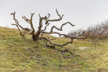 overgrown coastal scenery including a knaggy tree at the North Sea near Domburg in Walcheren in the dutch province of Zeeland Banco de Imagens