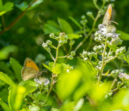 meadow brown butterflies in natural sunny ambiance Stock Photo