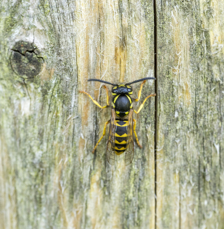 wasp on wooden ground seen from above Stock Photo