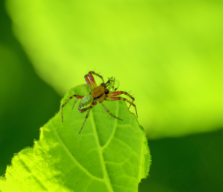 sideways shot of acucumber green spider on green leaf Stock Photo