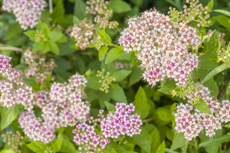 fluffy pink flower clusters in green leavy back