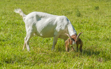 goat on a meadow in sunny ambiance Stock Photo