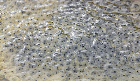 fresh frog spawn closeup at early spring time