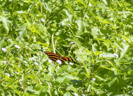 colorful tropical butterfly resting on a flower in sunny green ambiance seen in Belize in Central America Stock Photo