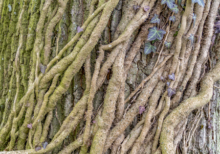 lots of big ivy rootlets climbing on a tree trunk Stock Photo