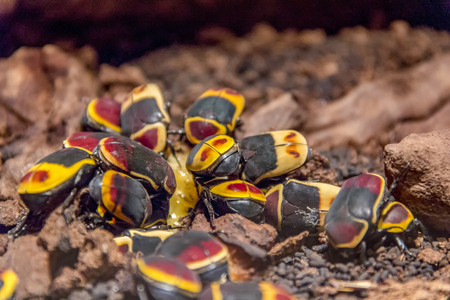 cluster of some colorful Pachnoda marginata beetles Stock Photo