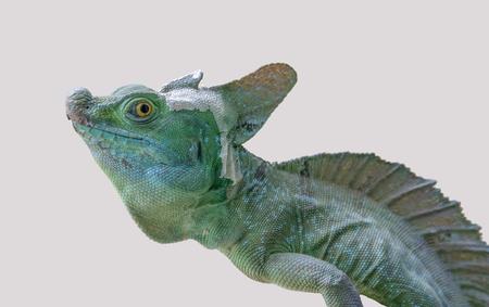 lizard named Plumed basilisk in light back