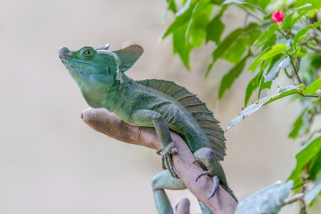 lizard named Plumed basilisk in light back