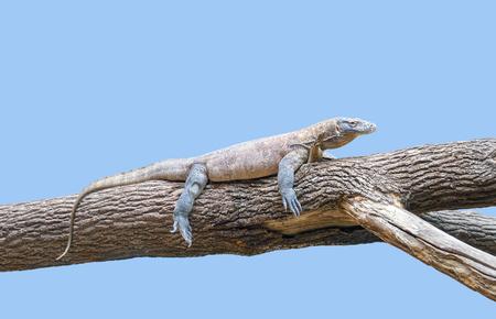 Komodo dragon resting on a tree trunk