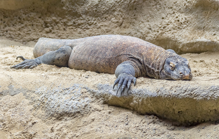 Komodo dragon in sandy and stony ambiance