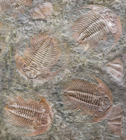 full frame background showing lots of trilobite fossils Stock Photo