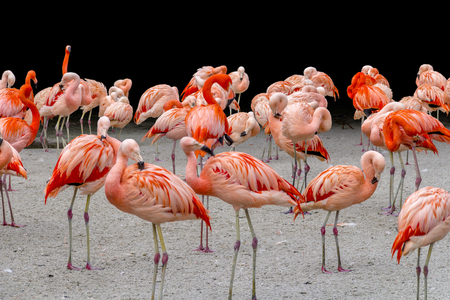 lots of red flamingos on sandy ground