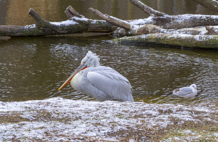riparian scenery including a pelican at winter time