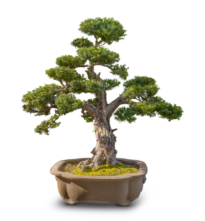 Bonsai tree in white back with shadow