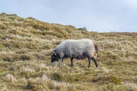 Coastal scenery including a sheep on a meadow in Ireland Standard-Bild - 115382009