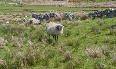 Some sheep on a meadow in Ireland Standard-Bild - 115382010