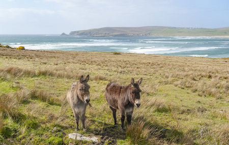 Coastal scenery including two donkeys on a meadow in Ireland Standard-Bild - 115382018
