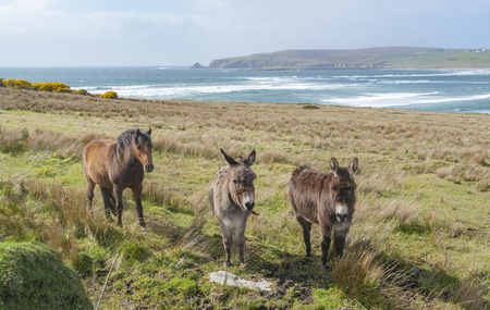 Coastal scenery including two donkeys and a horse on a meadow in Ireland Standard-Bild - 115382025