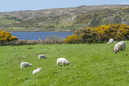 Some sheep on a meadow in Connemara, a district in western Ireland