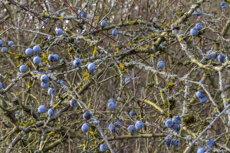 Blackthorn twigs with ripe blue berries at autumn time 免版税图像