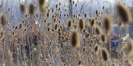 Sere teasel plants at autumn time