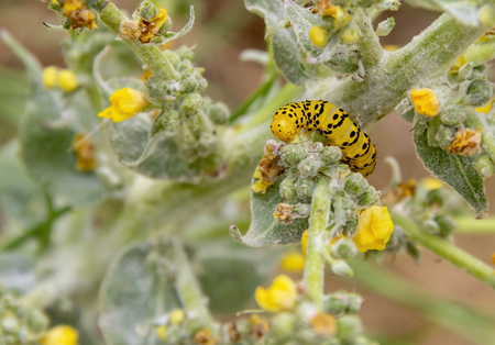 caterpillar of a Mullein moth butterfly seen in Southern France