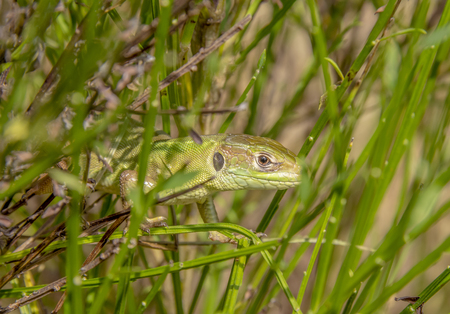 portrait of a green lizard in dense vegetation seen in Southern France