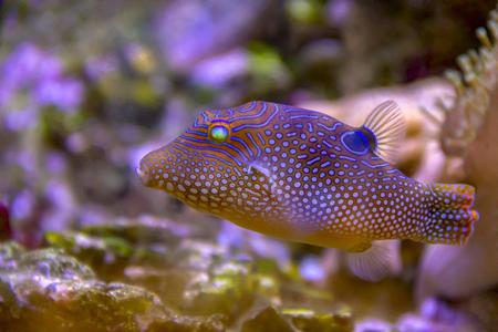 pez globo punteado de colores en un ambiente natural Foto de archivo