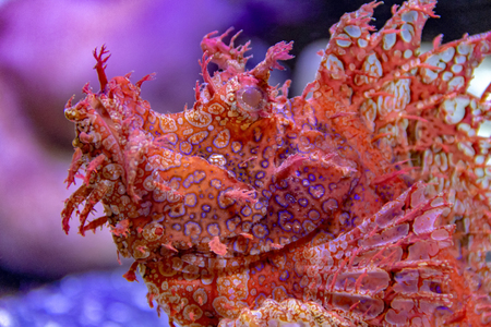 a red scorpionfish in vibrant colored ambiance