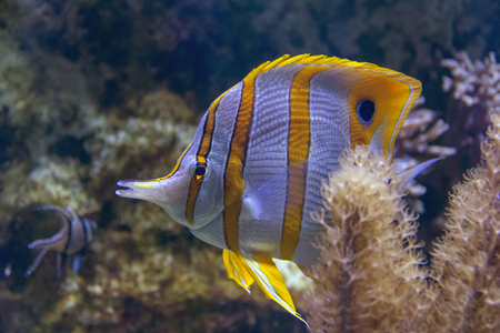aquatic scenery showing a colorful Coral reef fish
