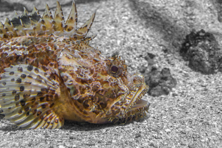 a red scorpionfish in natural ambiance