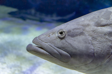 portrait of a big grey fish in natural ambiance