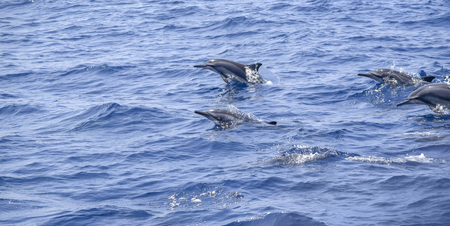 a group of oceanic dolphins seen in Sri Lanka