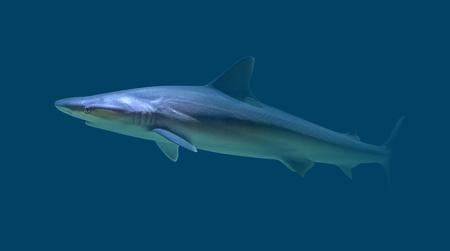 underwater scenery showing s shark in dark blue aquatic ambiance