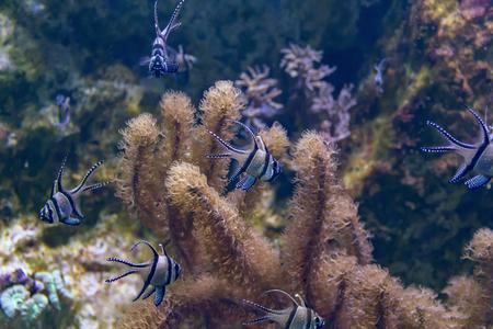 aquatic scenery showing lots of Banggai cardinalfishes