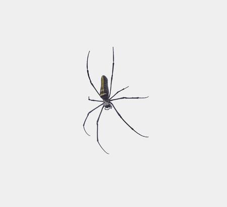Goldene Orb-Web-Spinne im hellen Rücken in Sri Lanka gesehen?