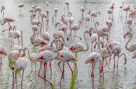 Lots of Flamingos seen in the Regional Nature Park of the Camargue in Southern France