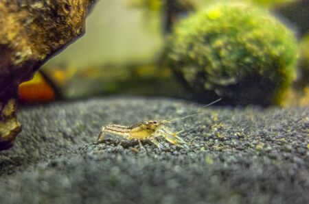 macro shot of a small freshwater crayfish in aquatic ambiance