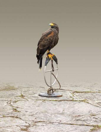falconry scenery showing a bird of prey resting on a metallic ring in gradient isolated back Standard-Bild