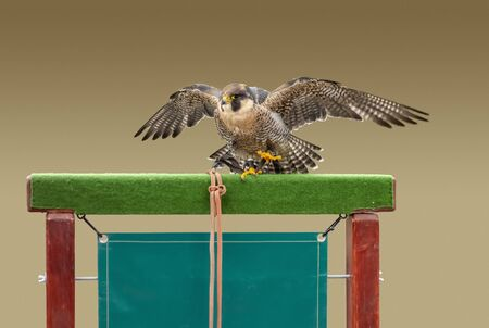 falconry scenery showing a bird of prey resting on a wooden beam in gradient brown back