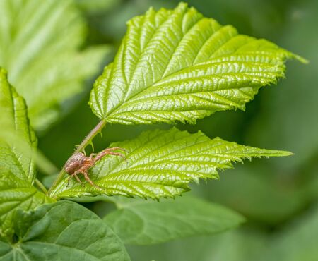 small brown crab spider on a leaf in green ambiance
