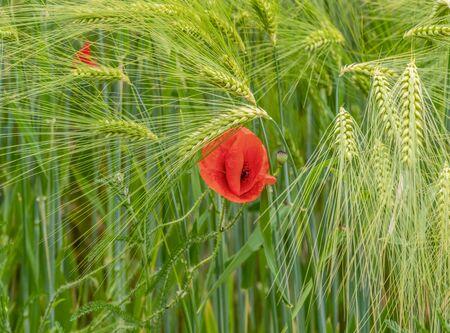 closeup shot of a red corn poppy flower between green barley ears