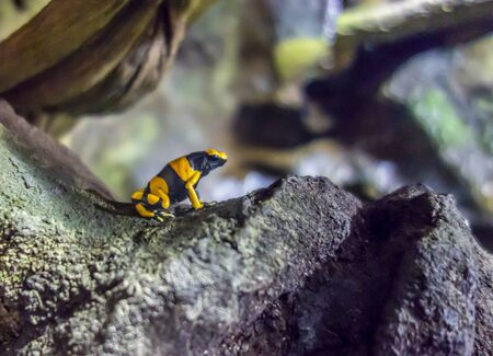 a Yellow-banded poison dart frog in natural ambiance