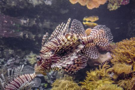 a Red lionfish in coral reef ambiance