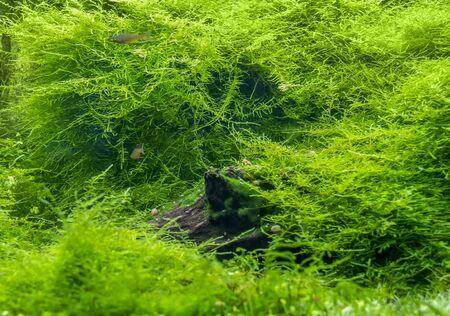 submerged freshwater scenery showing a dense green waterplant scenery Banco de Imagens - 133974604