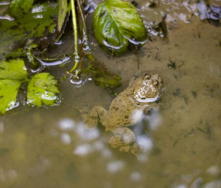 Fire-bellied toad in riparian ambiance seen from above