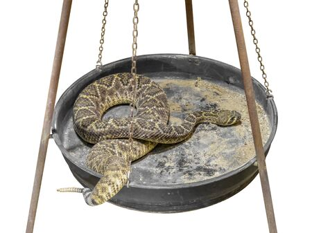 a Western diamondback rattlesnake resting in a metallic pan, isolated in white back