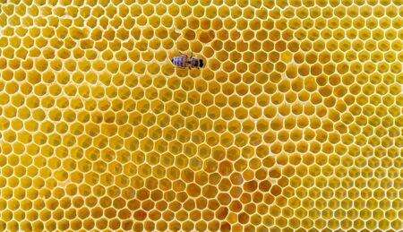 single honey bee  in yellow honeycombs back